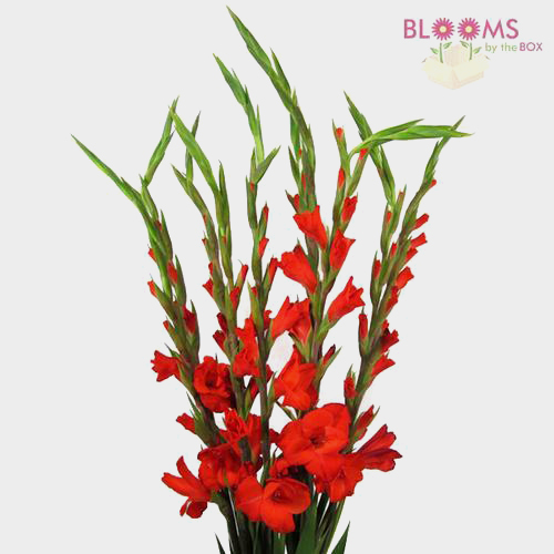 Gladiolus Fancy Red