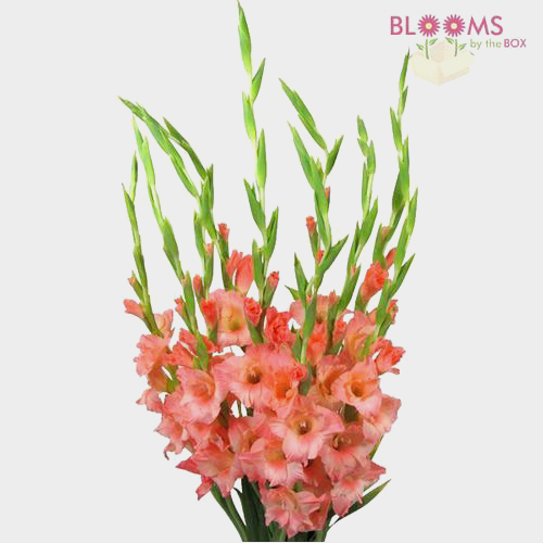 Gladiolus Fancy Peach Wholesale Blooms By The Box