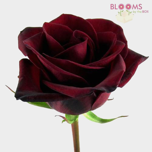 Rose Black Magic Dark Red 60cm