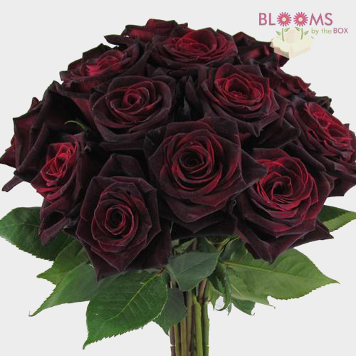wholesale rose black baccara dark red 40cm blooms by the box