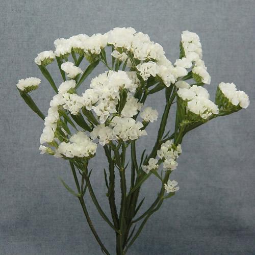 Wholesale statice white limonium seafoam statice latifolia wholesale statice white limonium seafoam statice latifolia blooms by the box mightylinksfo