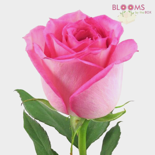 Wholesale pink rose 40 cm blooms by the box mightylinksfo