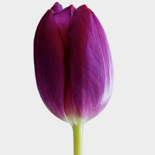 Tulip Purple Flower