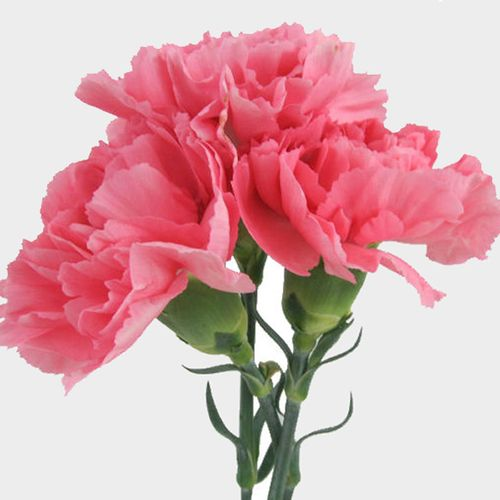 Pink Carnation Flowers - Fancy