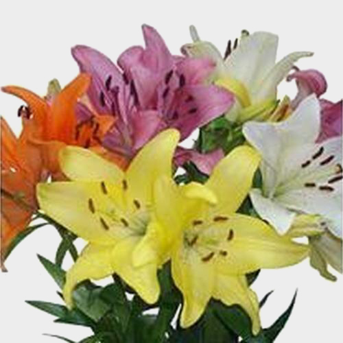 Lily Assorted Colors