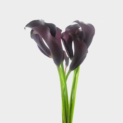 Calla Lily Mini Black