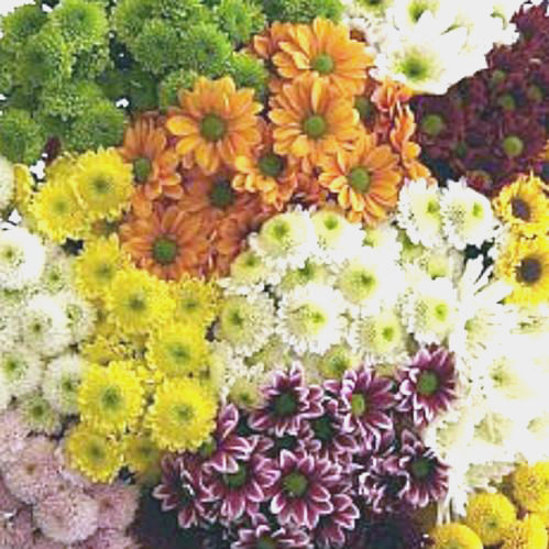 Mums Assorted Colors