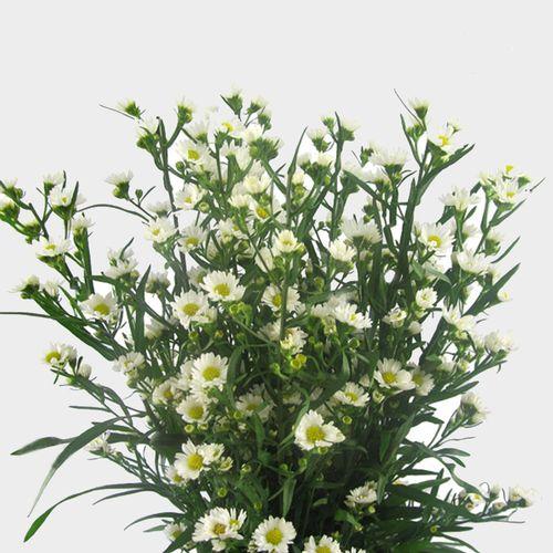 Fresh Cut Wholesale Monte Casino White Aster Flowers