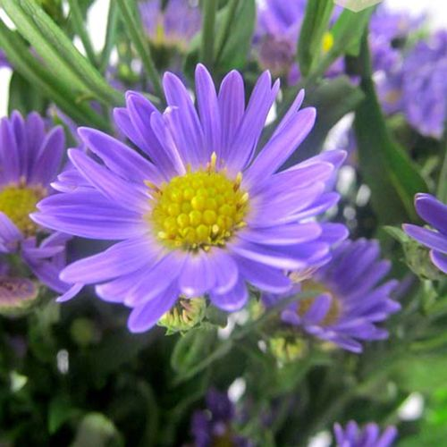Monte Casino Aster Purple