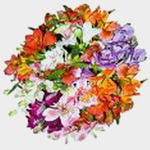 Alstroemeria Assorted Colors Fancy