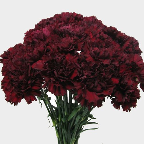 Burgundy Carnation Flowers Wholesale Bloomsbytheboxcom
