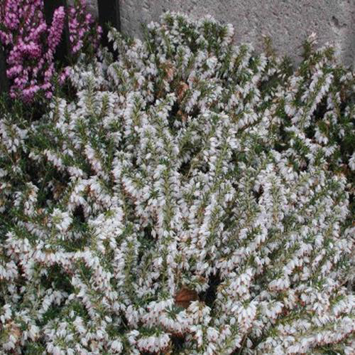 Wholesale calcynia heather white blooms by the box mightylinksfo