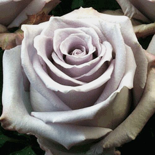 Wholesale Rose Ocean Song 50 Cm Blooms By The Box