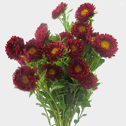 Red Matsumoto Asters