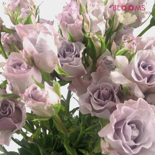 Wholesale Spray Rose Lavender 50cm - Blooms by the Box