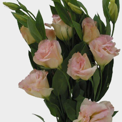 Lisianthus Peach Wholesale Blooms By The Box