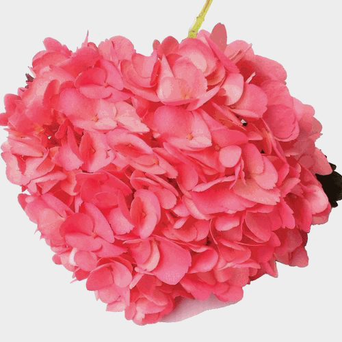 Spray Tinted Hydrangea - Medium Pink