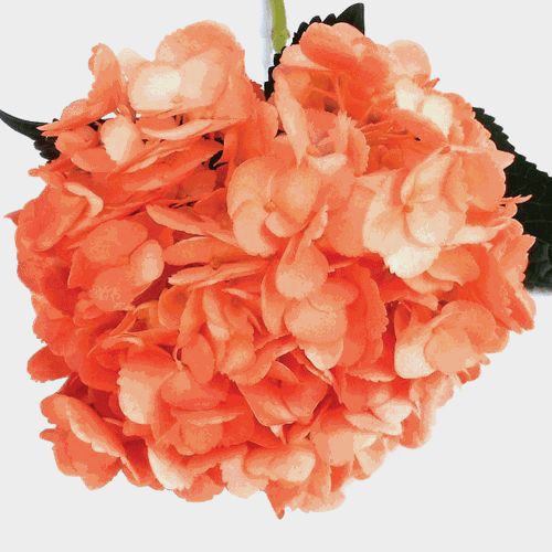 Spray Tinted Hydrangea - Orange
