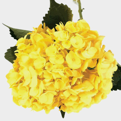 Spray Tinted Hydrangea - Yellow