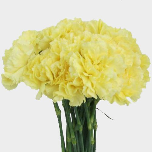Carnations Yellow Fancy Wholesale Blooms By The Box