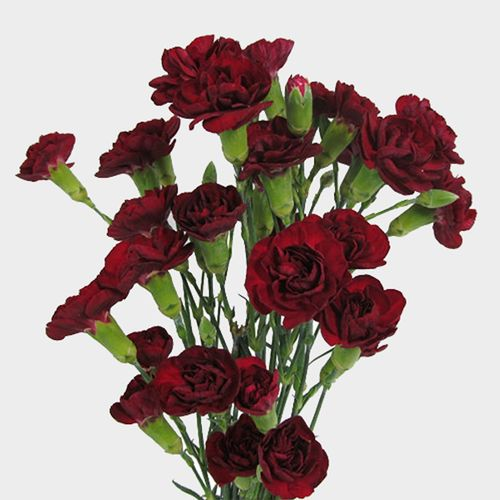 Burgundy Mini Carnation Flowers Wholesale Blooms By The Box