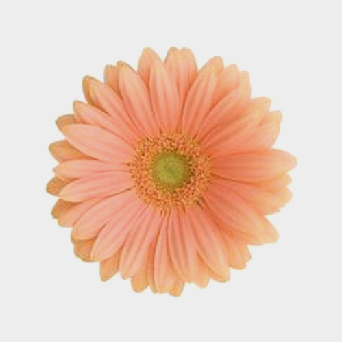Mini Gerbera Daisy Peach