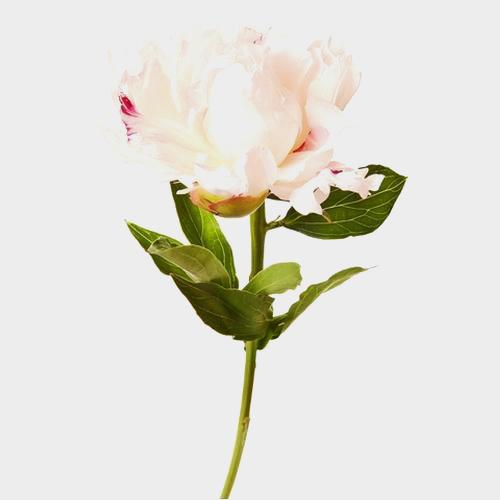 White peonies flowers mightylinksfo