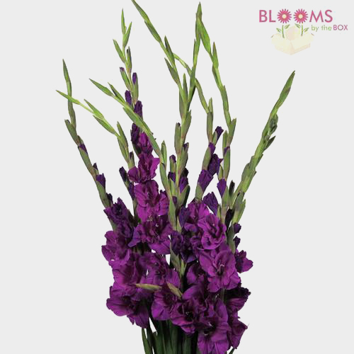 Gladiolus fancy purple wholesale blooms by the box