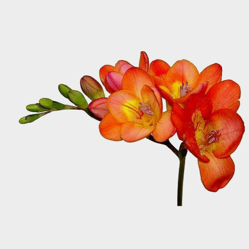 Freesia Orange