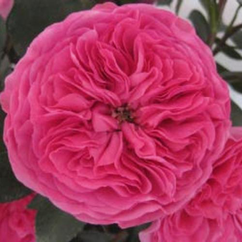 Wholesale Garden Rose Baronesse Hot Pink Blooms By The Box