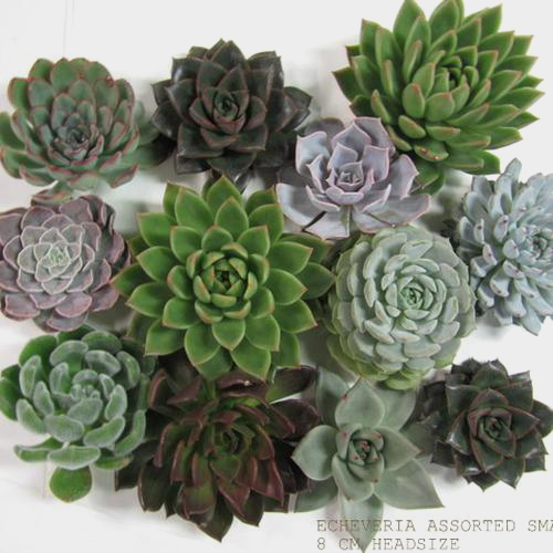 Assorted Large Succulents 15cm