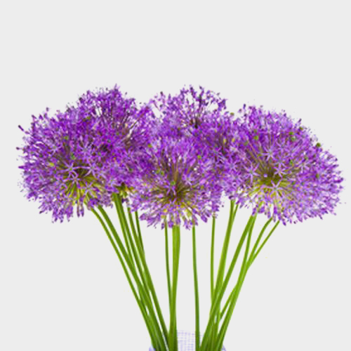 Allium Purple Sensation Flower