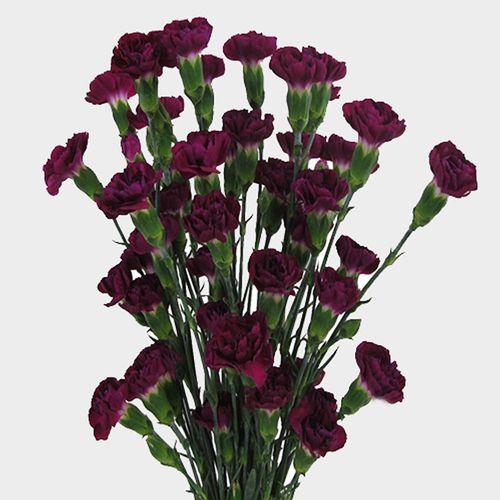 Mini Carnations Purple