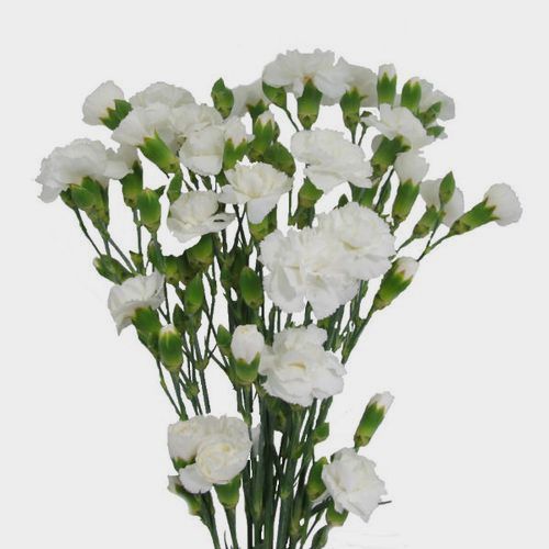 Mini Carnations White
