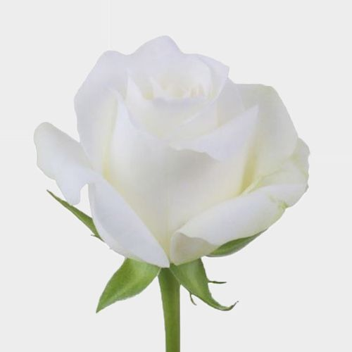 Rose Akito 40 Cm Wholesale Blooms By The Box