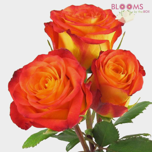 Circus Rose 50 Cm Wholesale Blooms By The Box