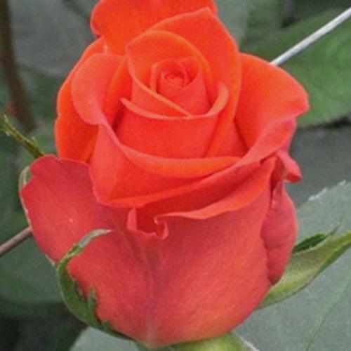 wholesale rose santana 40 cm blooms by the box. Black Bedroom Furniture Sets. Home Design Ideas