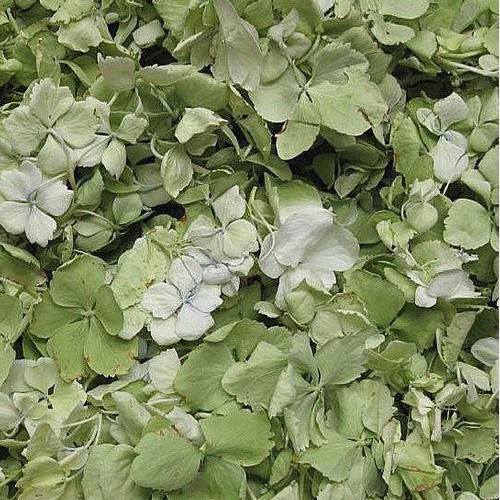 Apple Green FD Hydrangea Petals (30 Cups)