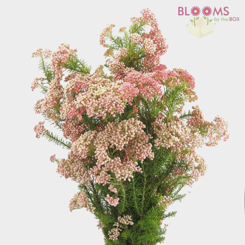 Wholesale rice flower pink blooms by the box mightylinksfo