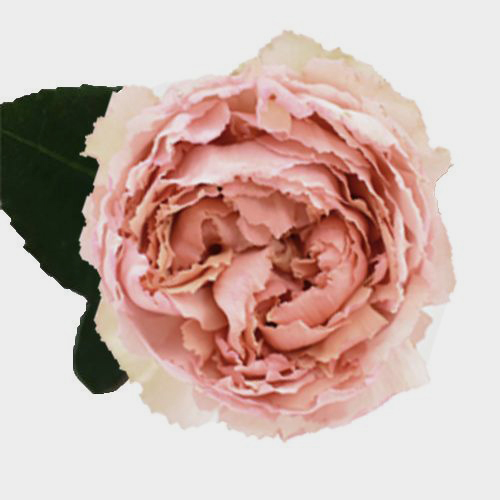 Peach flowers wholesale wedding flowers bloomsbythebox garden rose juliet peach mightylinksfo