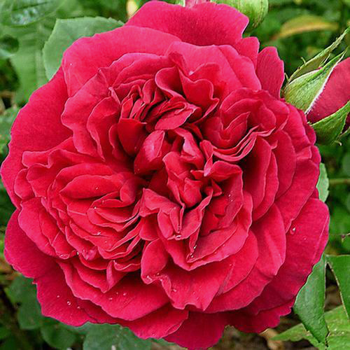 Garden Rose Tess Red