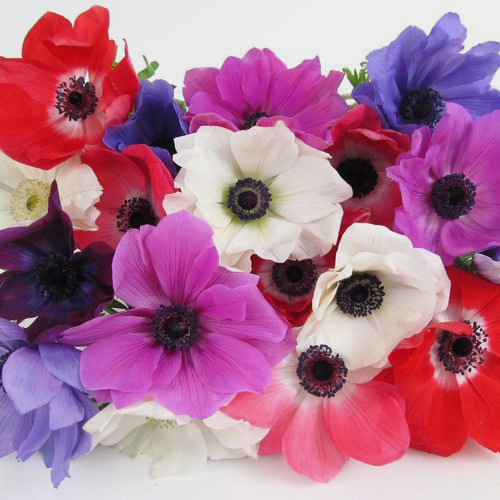 Anemones 5 Bunch X 10 Stem Box (50 Stems)
