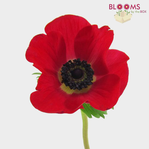 Anemones 15 Bunch X 10 Stem Box (150 Stems)