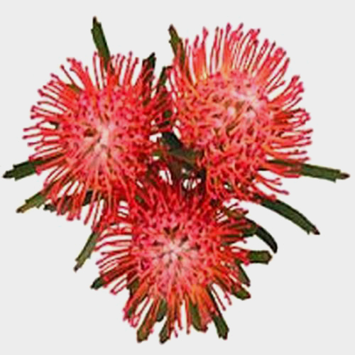 Protea Pincushion Red