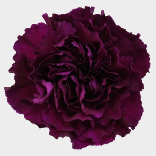Carnations Purple Fancy