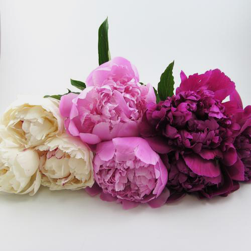 Peony SINGLE Color Pack (120 Stems)