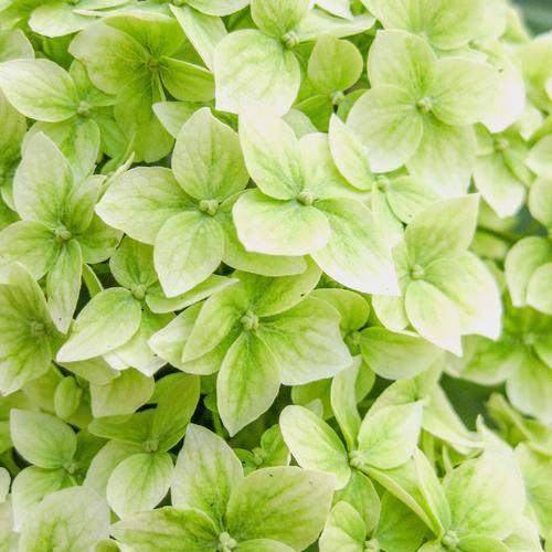 Hydrangea Mojito Green