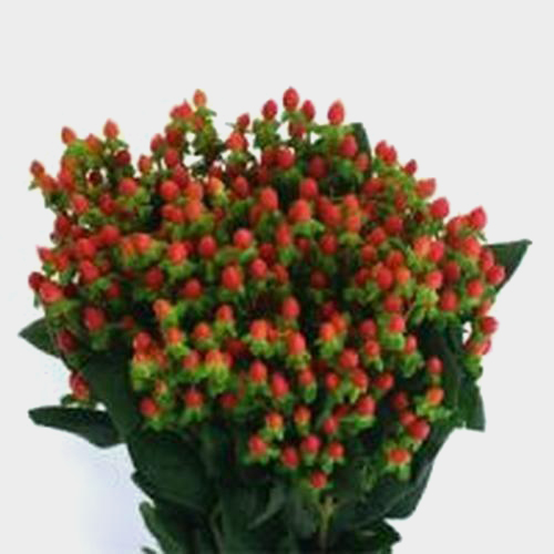 Wholesale Hypericum Red