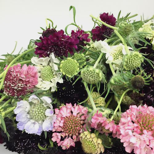 Scabiosa Assorted Colors (10 Bunches)