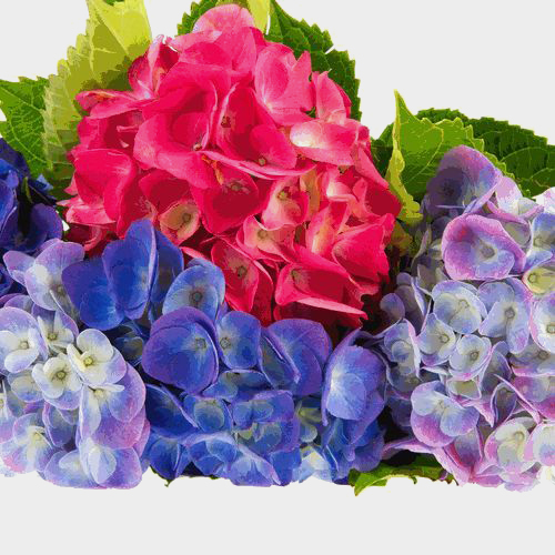 Hydrangea Assorted Colors (30 Stems)